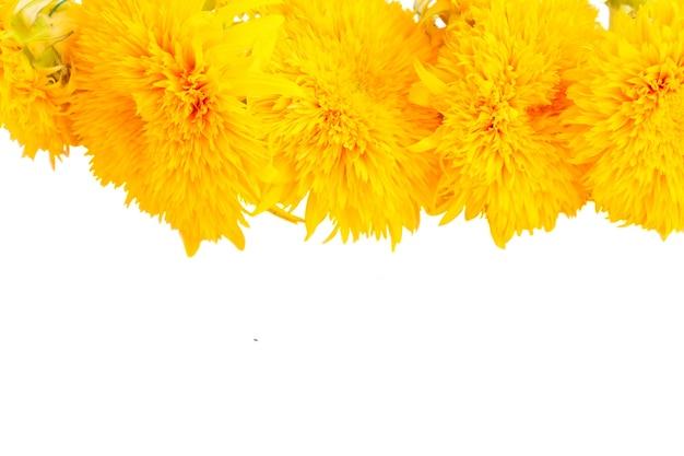 Gelbe herbstsonnenblumengrenze lokalisiert auf weißem hintergrund
