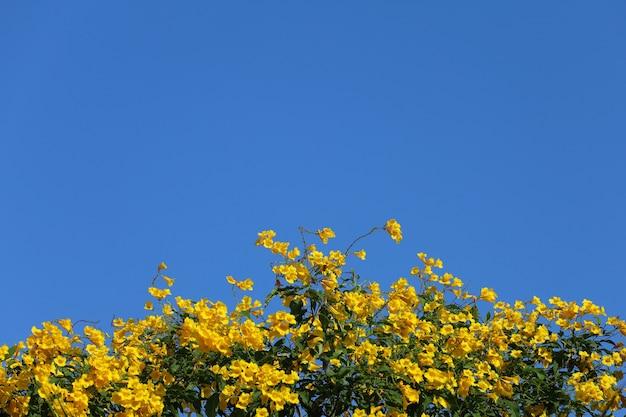 Gelbe holunderblüten auf blauem himmel