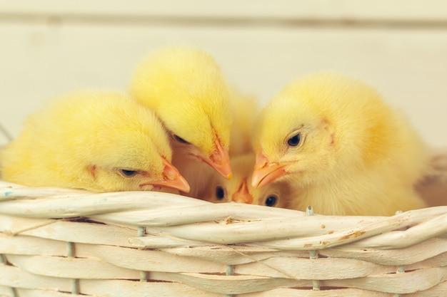 Gelbe hühner hautnah