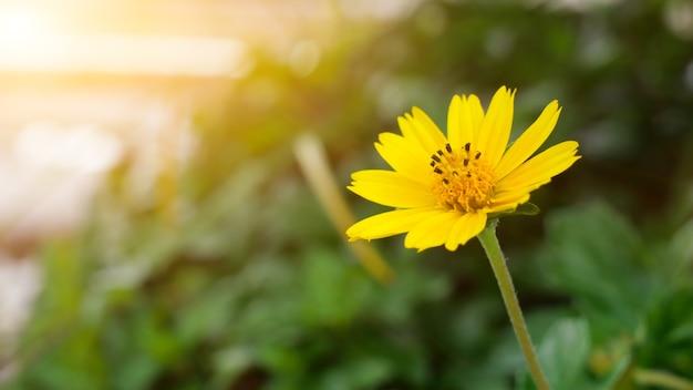 Gelbe jacoba-blume mit grünem hintergrund und blitzlicht