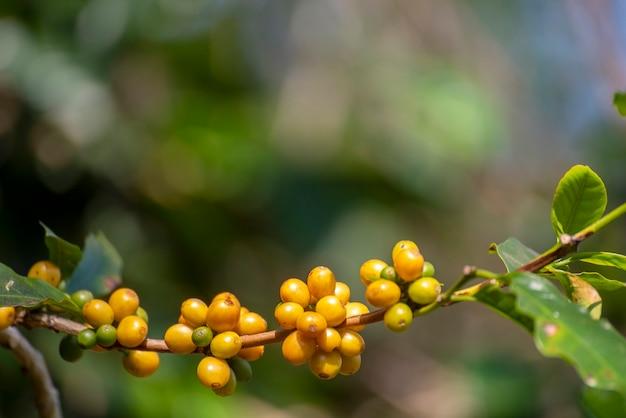 Gelbe kaffeebohnen-beerenpflanze frisches samenkaffeebaumwachstum im gelben bourbon-öko-biobauernhof nahaufnahme der gelben reifen samenbeeren ernten arabica-kaffeegarten. frische kaffeebohne grüner blattbusch