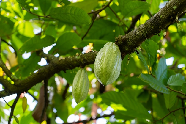 Gelbe kakaobohne auf dem baum auf der insel bali, indonesien, nahaufnahme