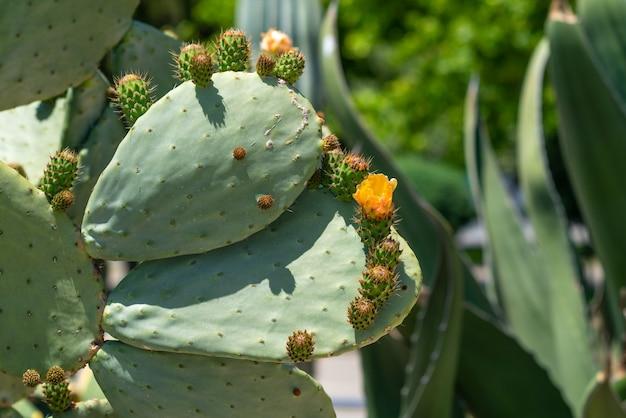 Gelbe kaktus-kaktusfeigenblume
