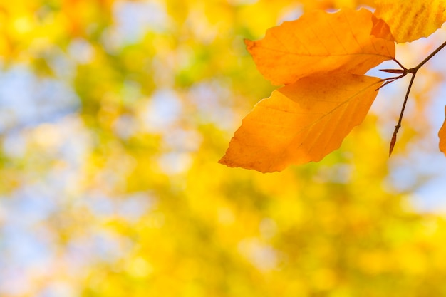 Gelbe kirschblätter im bunten herbstpark mit kopienraum auf bokeh-hintergrund