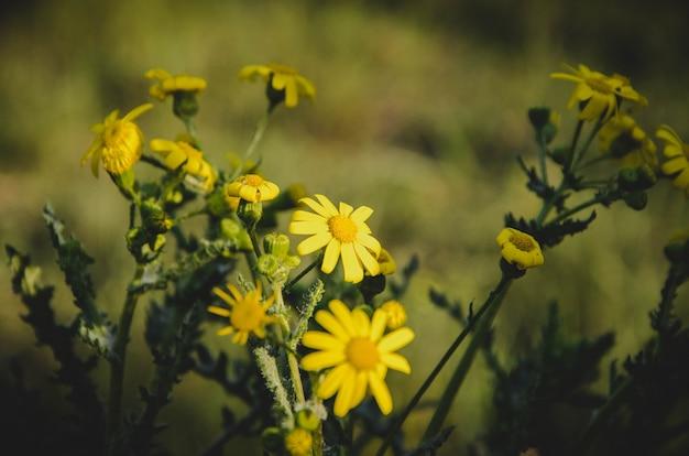 Gelbe kleine wildblumen, gänseblümchen. blumen