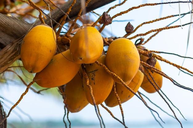 Gelbe kokosnüsse auf einer palme.