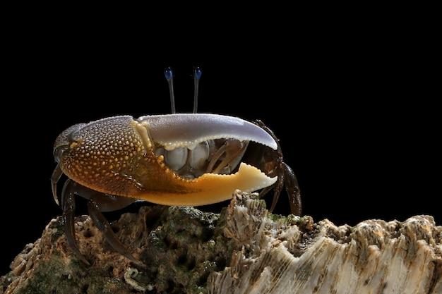 Gelbe krabbe auf ast