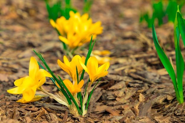 Gelbe krokusse auf baumrindenhintergrund