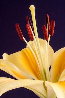 Gelbe lilie (lilium) nahaufnahme vor einem dunklen hintergrund