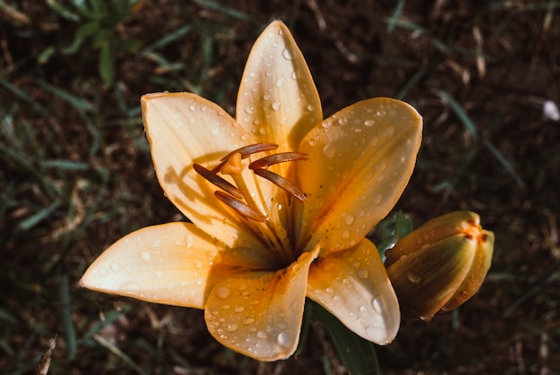 Gelbe lilie mit droprains auf einem grünen hintergrund