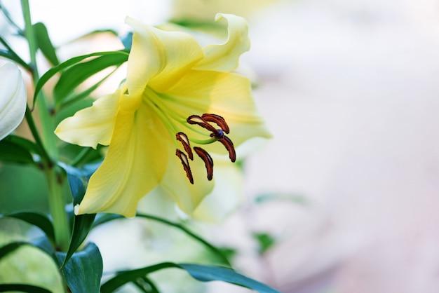 Gelbe lilienblume im garten.