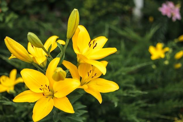 Gelbe lilienblume mit knospen, die im garten wachsen. lily blumen nahaufnahme, auf einem grünen gras hintergrund. blumenhintergrund im freien