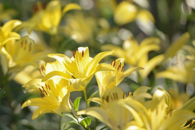Gelbe lilienblumen, die im garten unter morgensonnenaufgang blühen