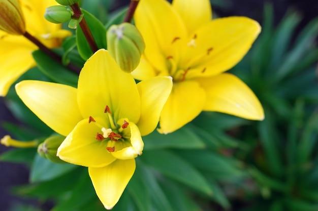 Gelbe lilienblumen im garten, ansicht von oben