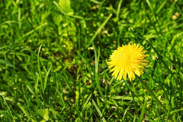 Gelbe löwenzahnblume auf grünem grashintergrund