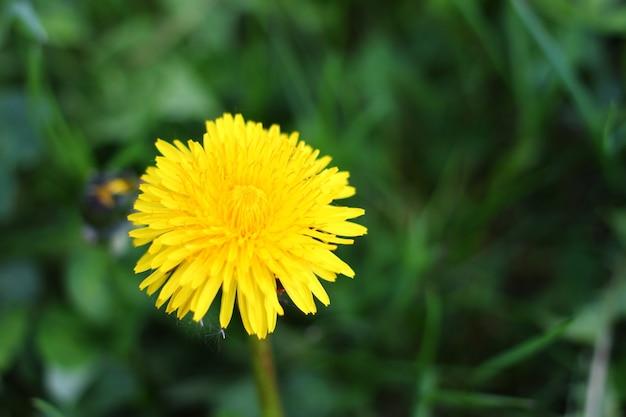 Gelbe löwenzahnblume