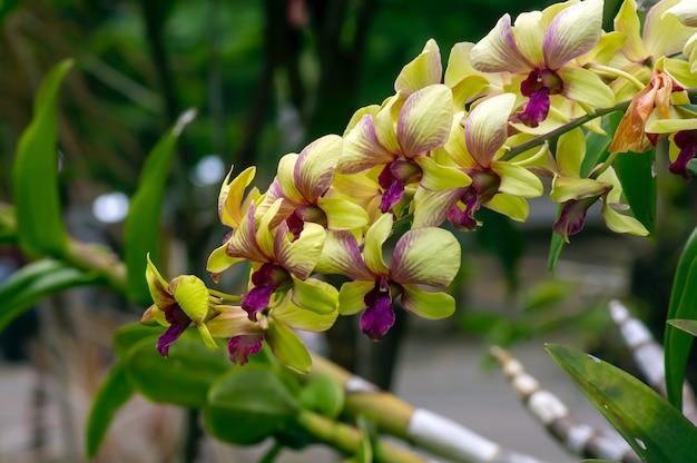 Gelbe mottenorchidee (phalaenopsis amabilis), allgemein bekannt als mondorchidee