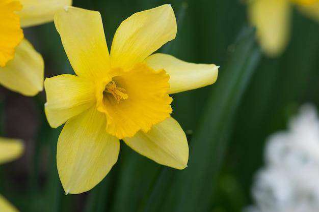 Gelbe narzisse auf grünem grund
