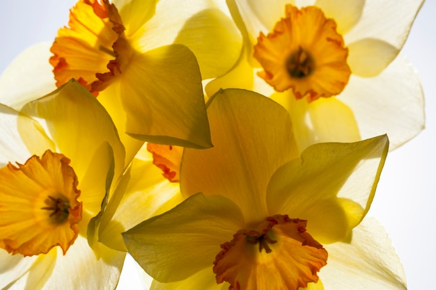 Gelbe narzisse in der frühlingssaison