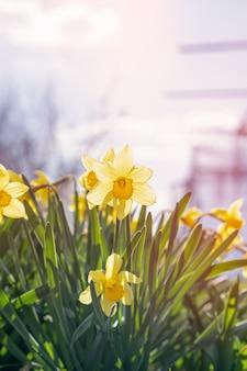 Gelbe narzissen hautnah in einem frühlingsgarten. frühlingsnarzissen gow in einem frühlingsgarten.