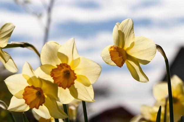Gelbe narzissenblüten während der blüte