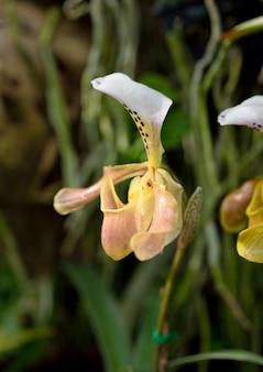 Gelbe orchidee für natürliches.