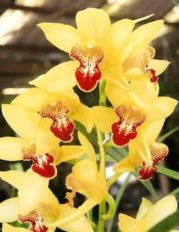 Gelbe orchidee im garten, cymbidium