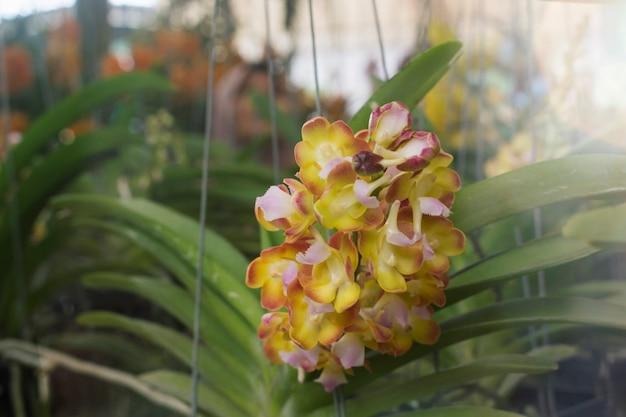Gelbe orchidee im garten.