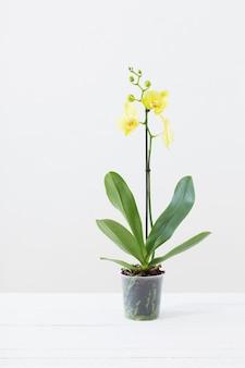 Gelbe orchideen im blumentopf im weißen modernen innenraum