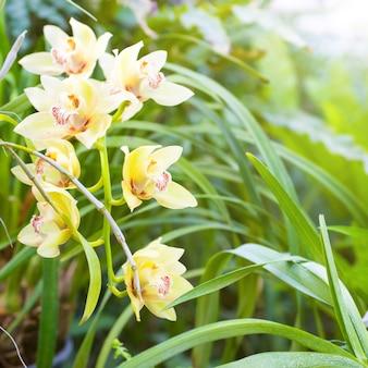 Gelbe orchideen in einem wilden tropischen wald. schöne frühlingsblumen mit weichem grünem hintergrund