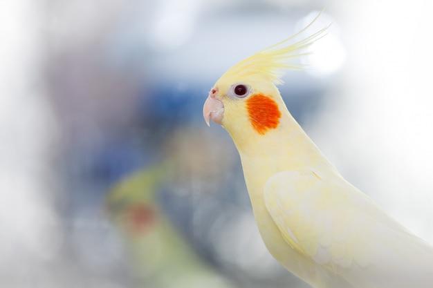 Gelbe papageienkorella auf licht