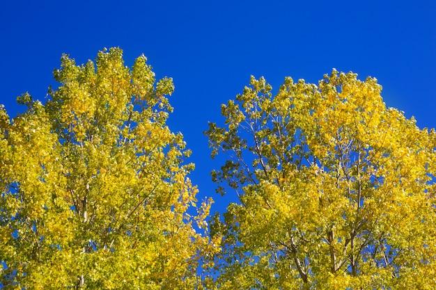 Gelbe pappelblätter halten am blauen himmel fest