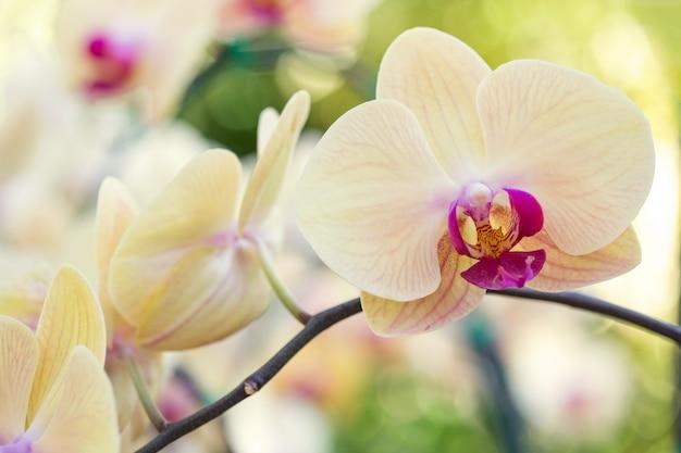 Gelbe phalaenopsis orchidee blume