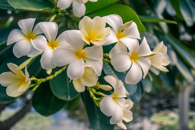 Gelbe plumeriablume tropischer blumen frangipani (plumeria) im garten.