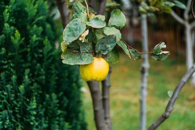 Gelbe quittenfrucht auf einem baum