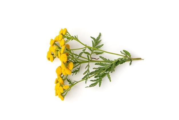 Gelbe rainfarnblume lokalisiert auf weiß