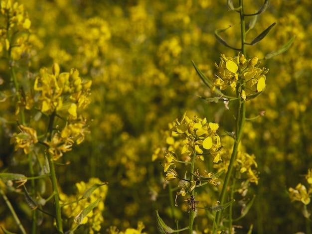 Gelbe rapsblüten mit dunkelgrünem hintergrund. bio-raps. bunte nahaufnahme