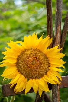 Gelbe reife sonnenblume hautnah
