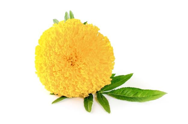 Gelbe ringelblume. isoliert auf weiß mit beschneidungspfad.