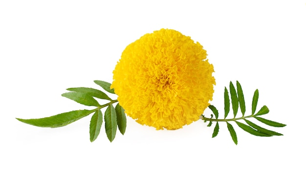Gelbe ringelblume tagetes erecta mexikanische ringelblume aztekische ringelblume afrikanische ringelblume isoliert auf weißem hintergrund