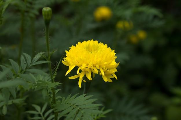 Gelbe ringelblume Premium Fotos