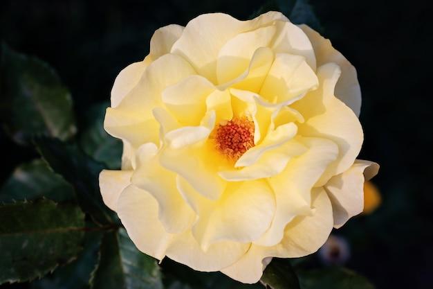 Gelbe rosafarbene blume mit den großen blumenblättern