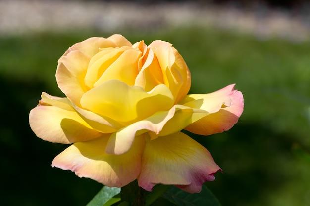 Gelbe rose (frieden) blüht in einem englischen garten
