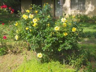 Gelbe rosen, rosen