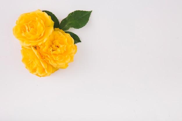 Gelbe rosen und blätter om weiß