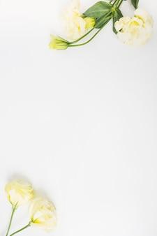 Gelbe rosen vor weißem hintergrund