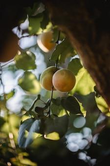 Gelbe runde frucht auf baum