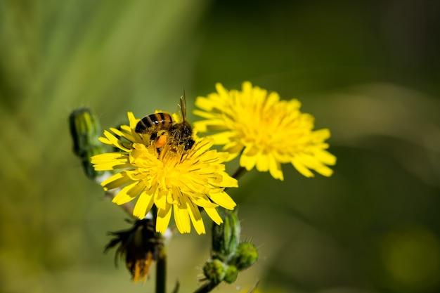 Gelbe saudistelblumen, die von einer fleißigen biene bestäubt werden, die pollen für honig sammelt.