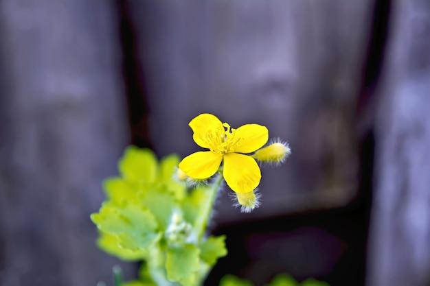 Gelbe schöllkrautblume mit grünen blättern im hintergrund der alten holzbretter