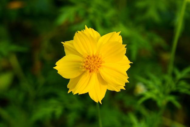 Gelbe schwefelkosmosblume